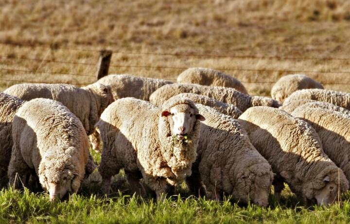 Овцы в Австралии