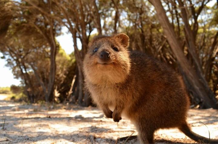 Квокка - короткохвостый кенгуру