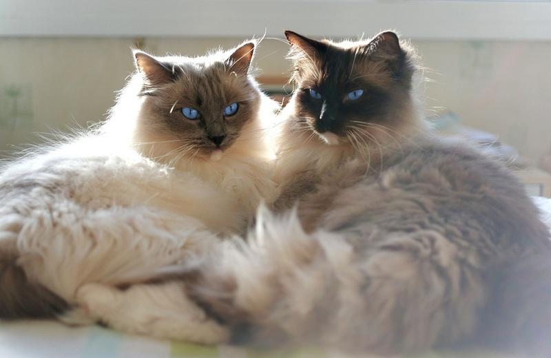 Кошки породы Рэгдолл, с голубыми глазами