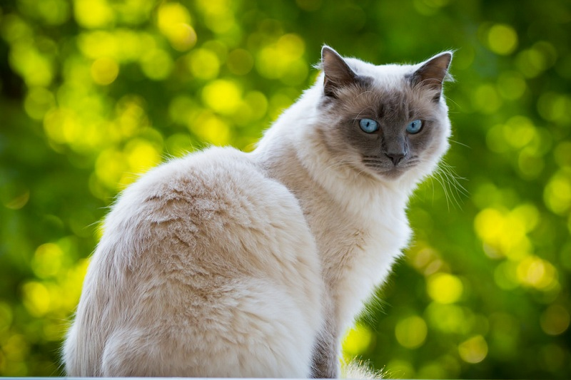 cat-blue-eyes-2