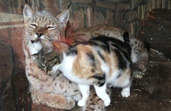Кошка и рысь