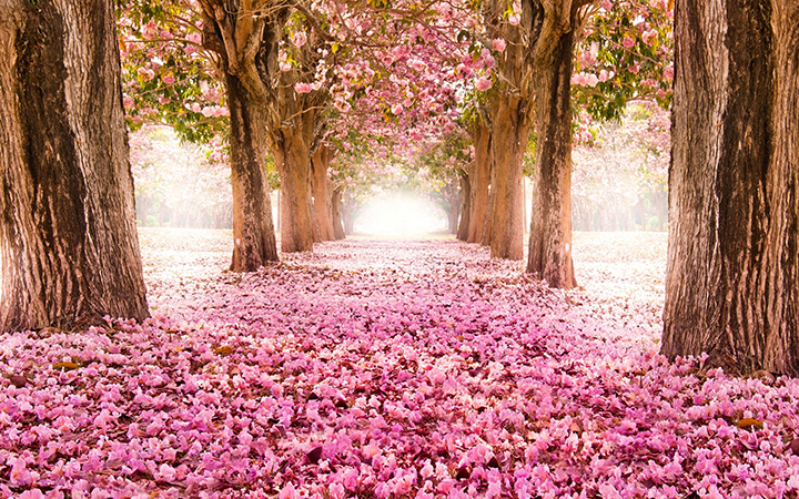 Сад с цветущей сакурой