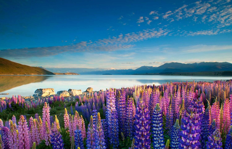 Цветущие на берегу люпины