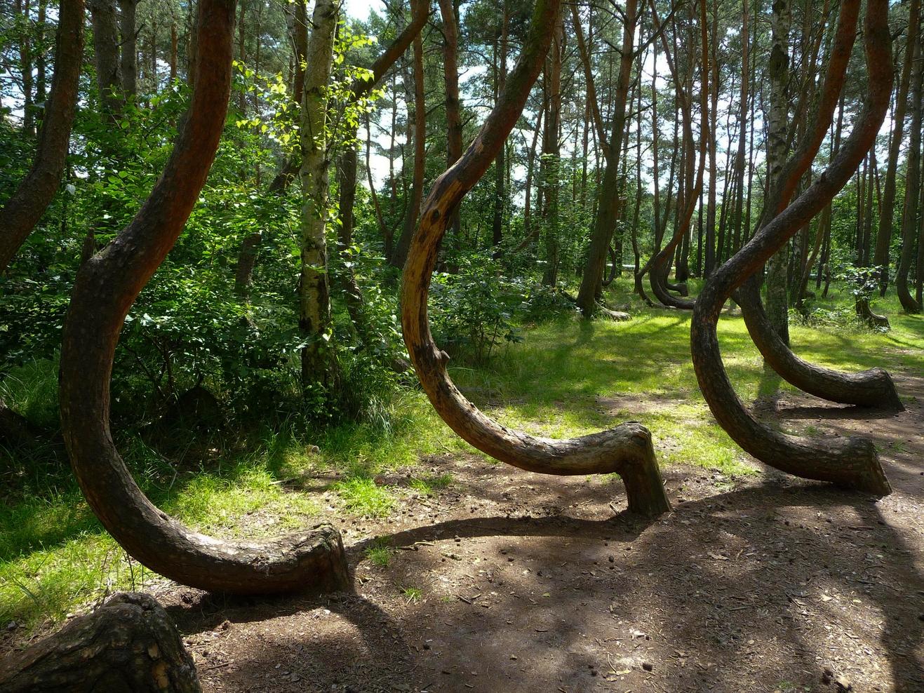 Кривой лес в Польше фото 1