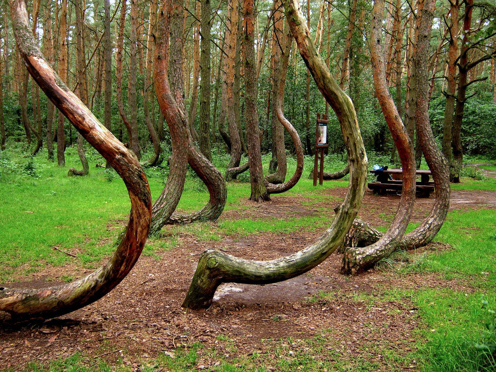 Кривой лес в Польше 2