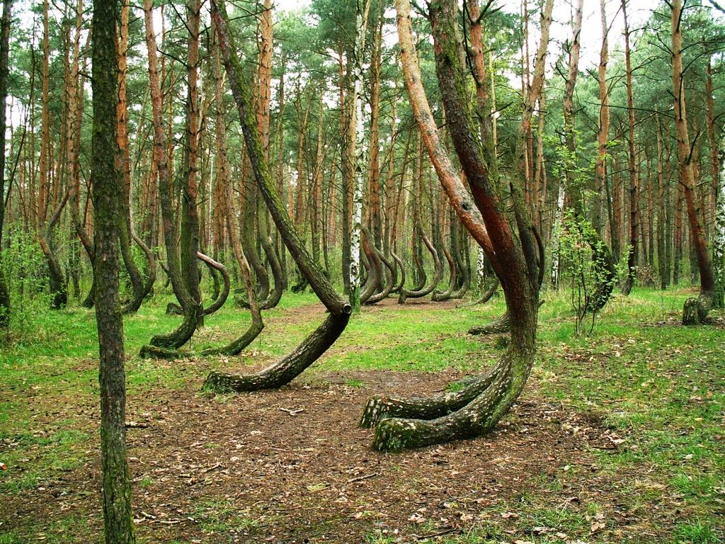 Кривой лес в Польще 3