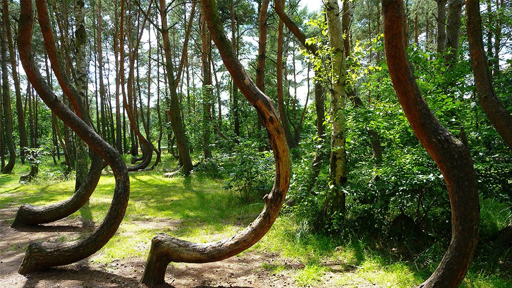 Кривой лес в Польше фото 4