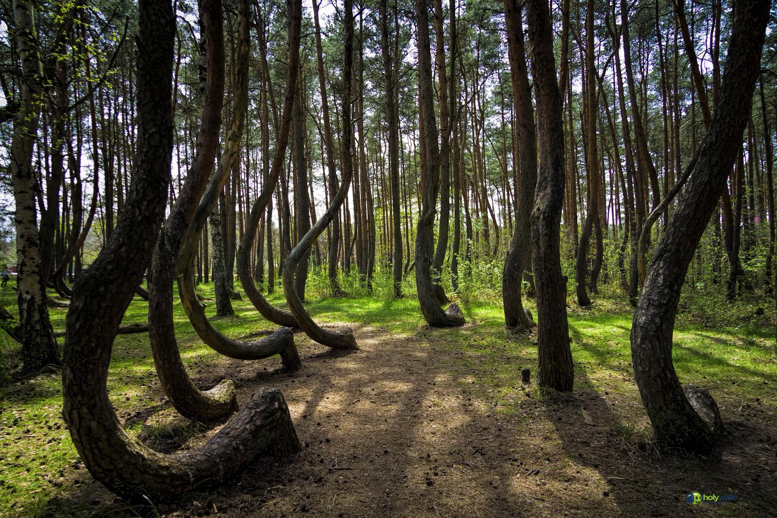 Кривой лес фото 5