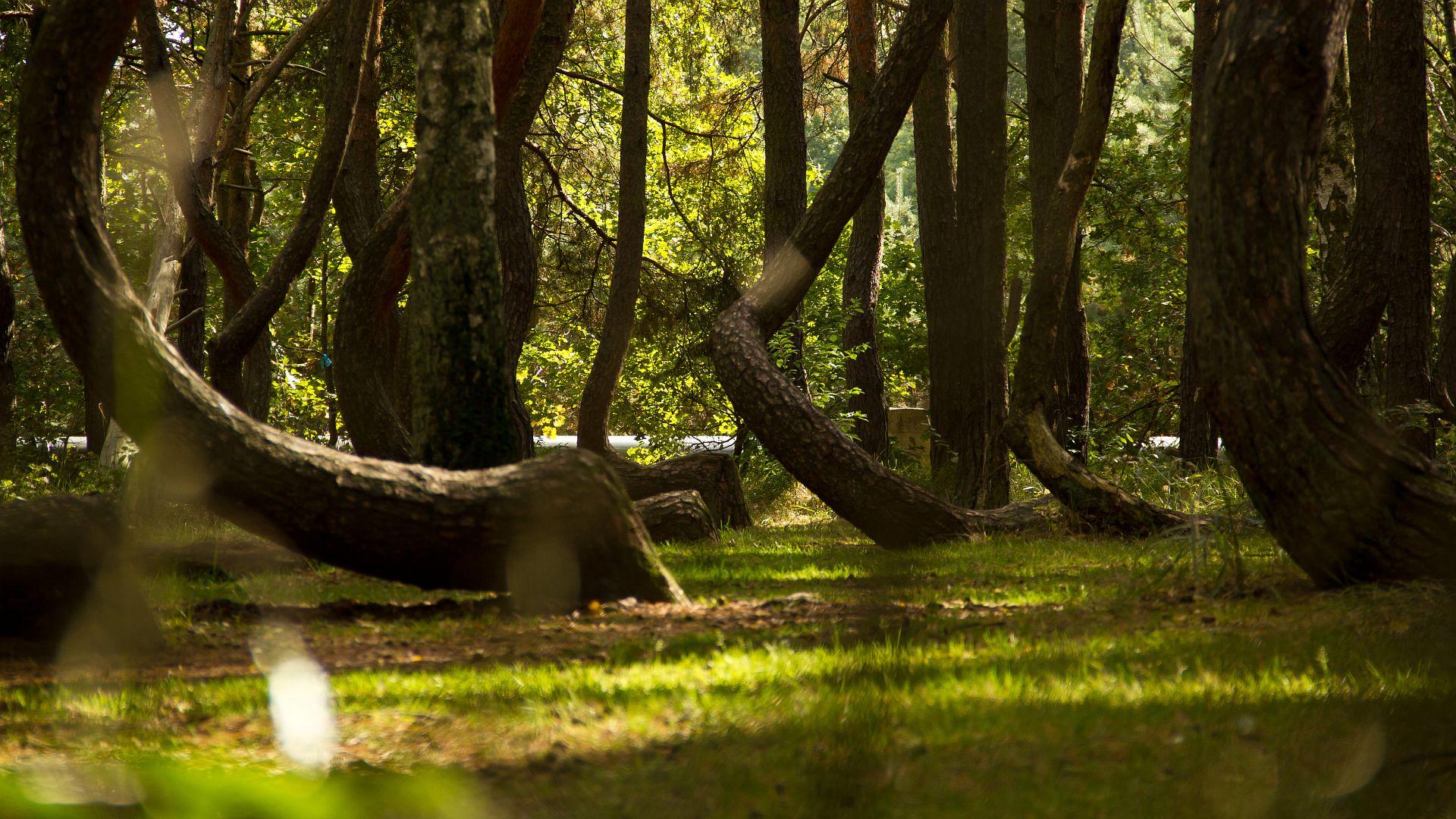 Кривой лес фото 6