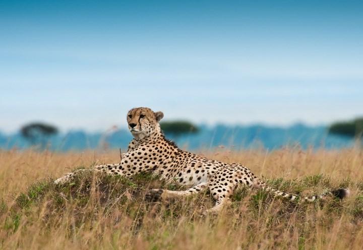Гепард - самое быстрое животное на планете