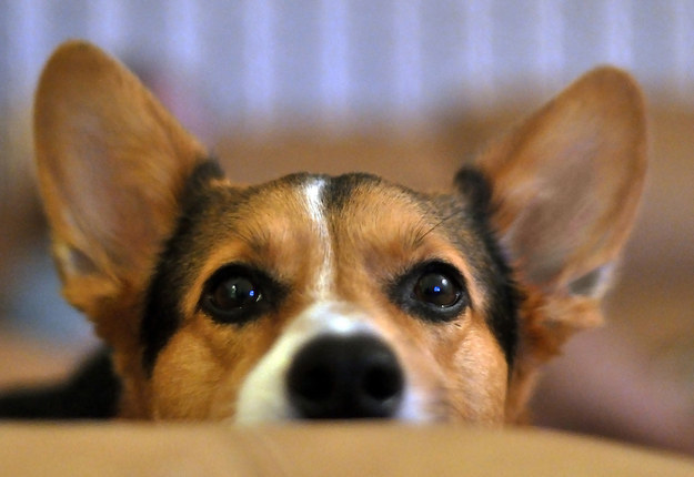 Уши у собаки