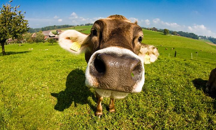 Стрижка коров