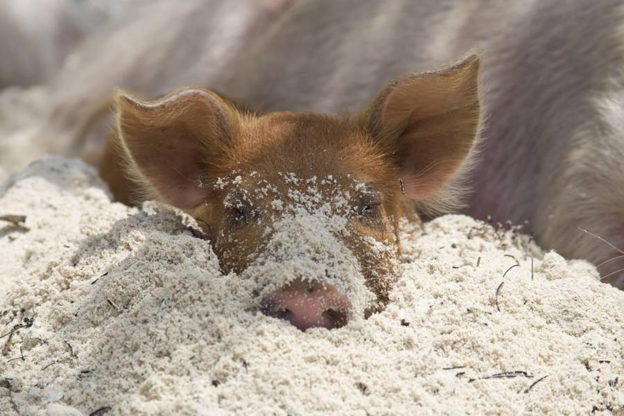 Плавающие свиньи фото 10