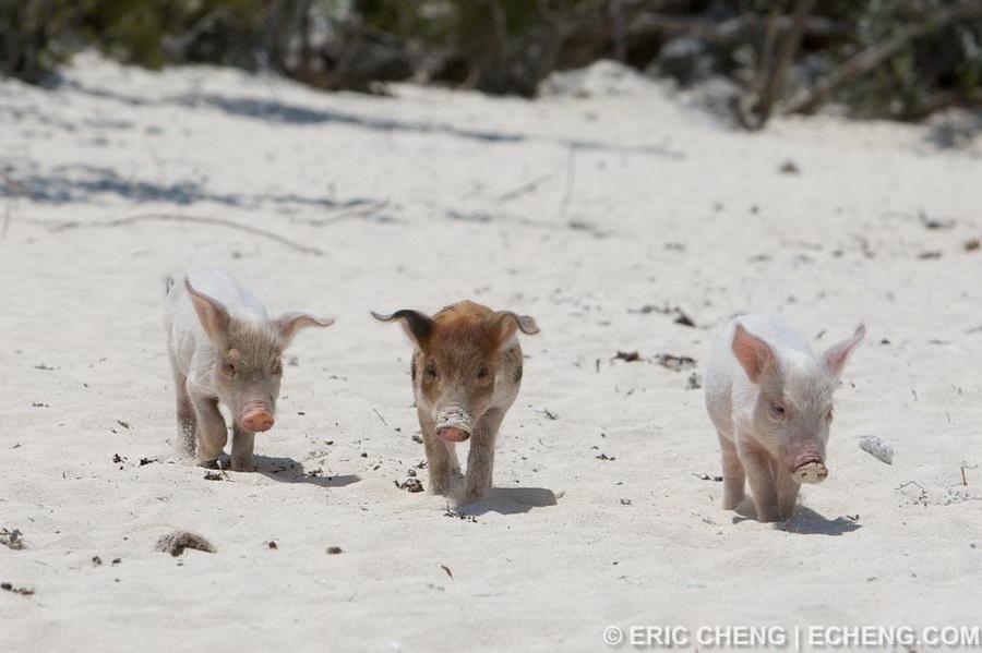 Свиньи на Багамских островах