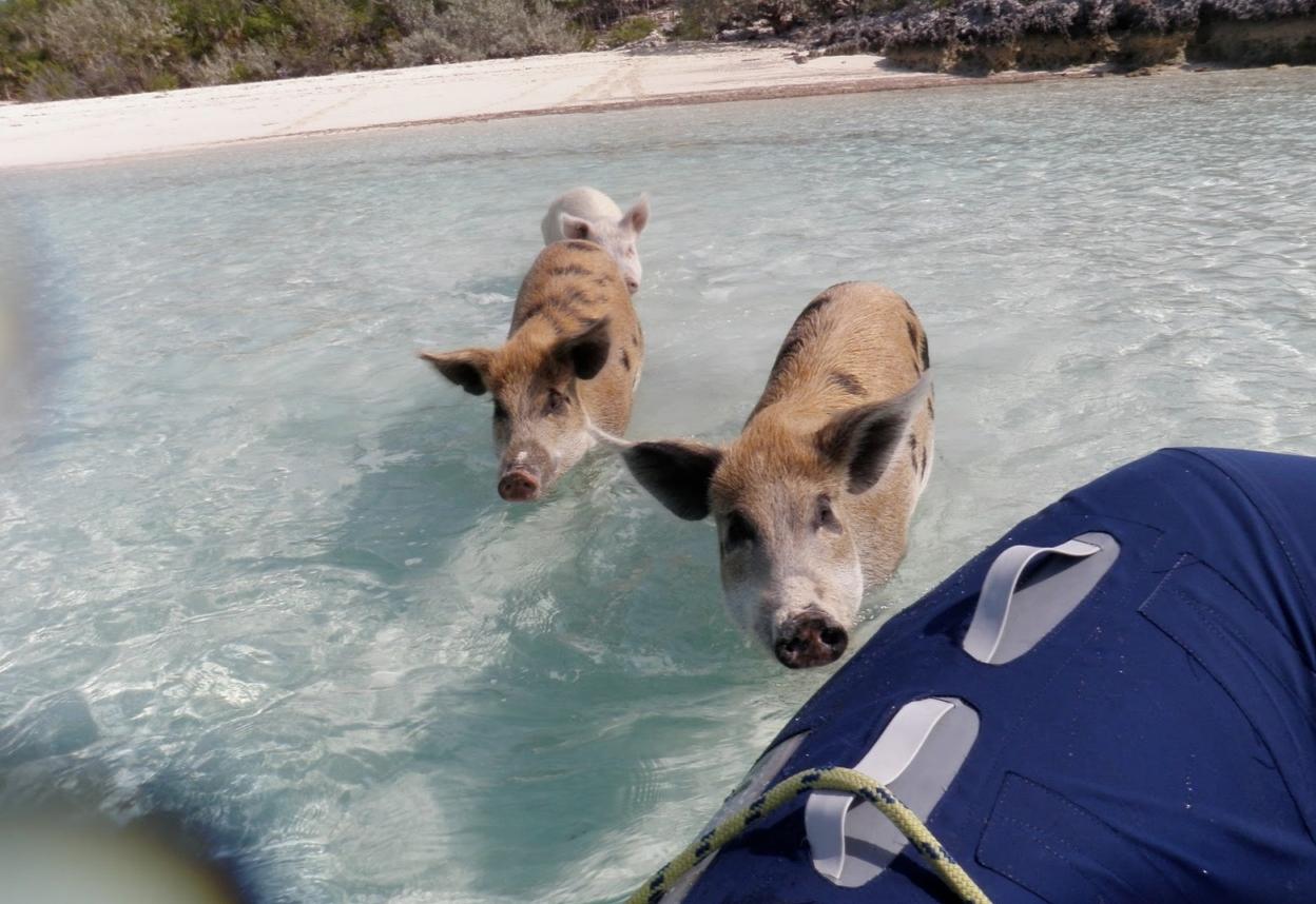Плавающие свиньи фото 1