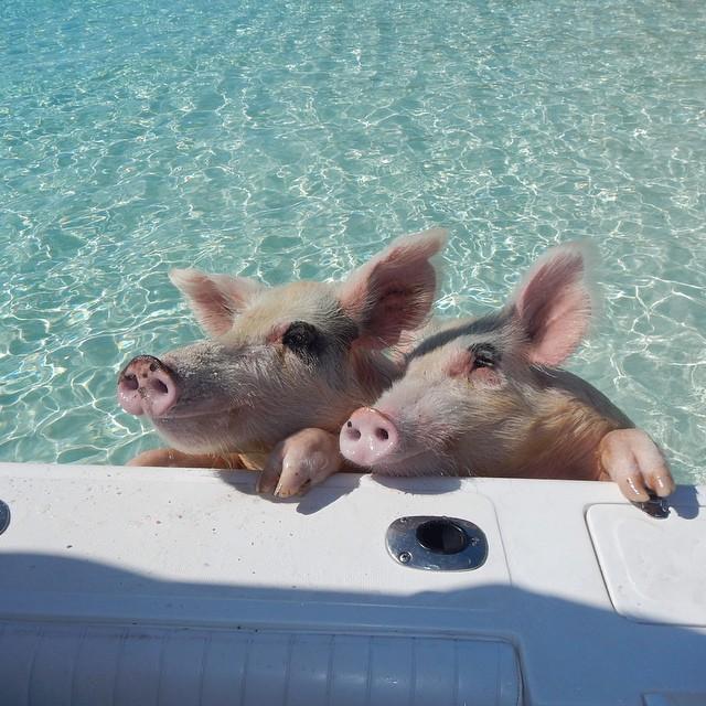 Плавающие свиньи фото 3