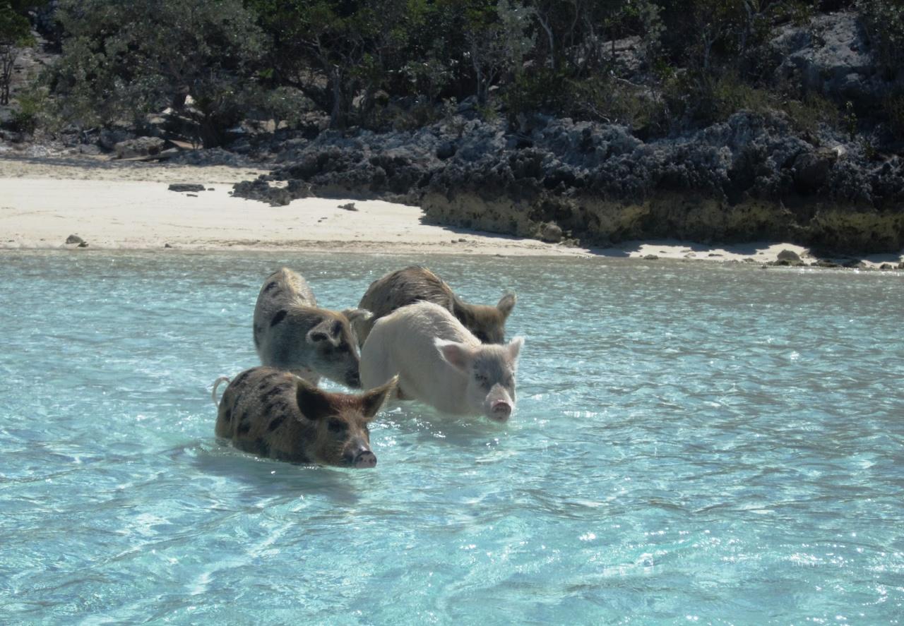 Плавающие свиньи фото 4