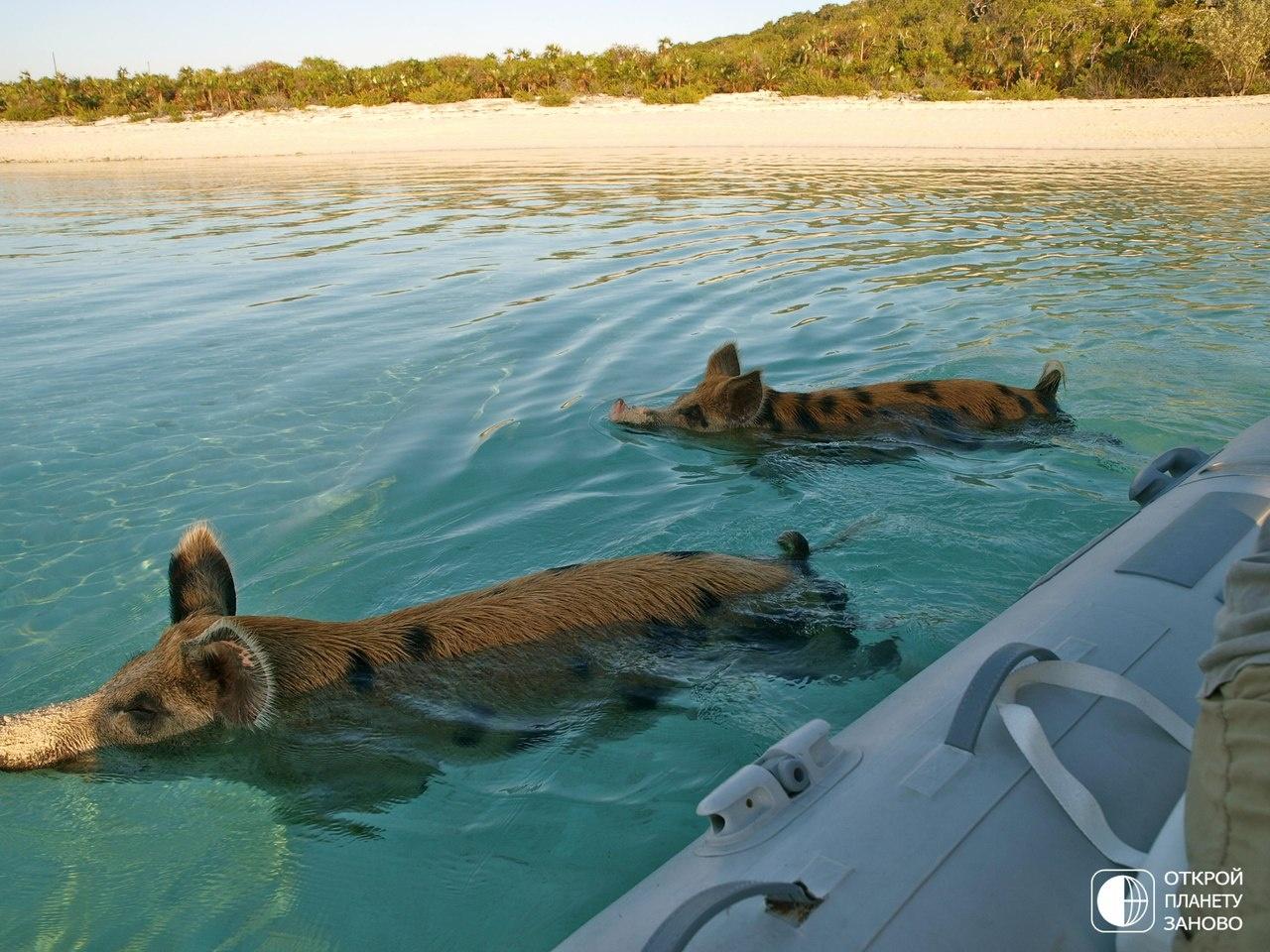 Плавающие свиньи фото 5