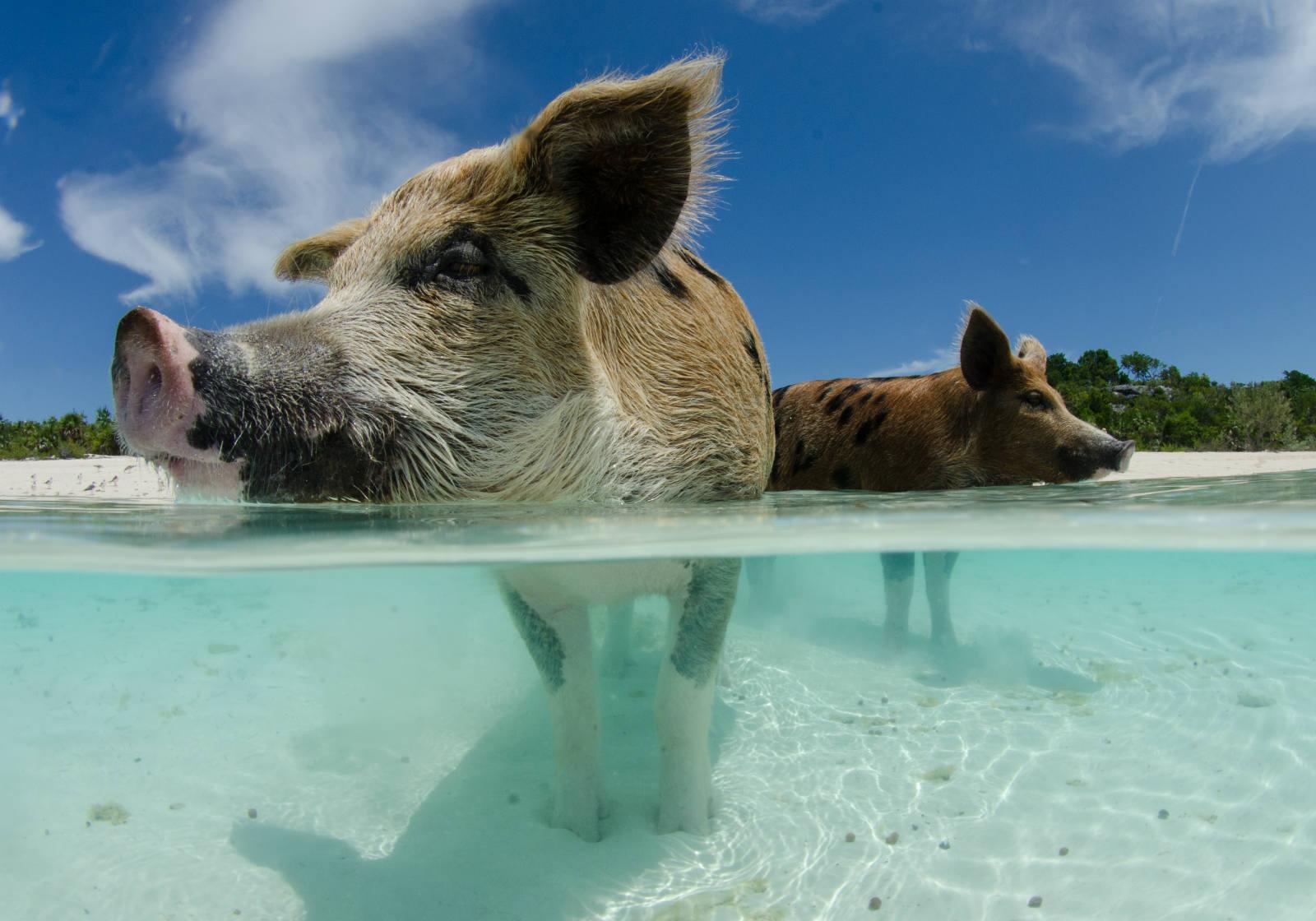 Плавающие свиньи фото 6