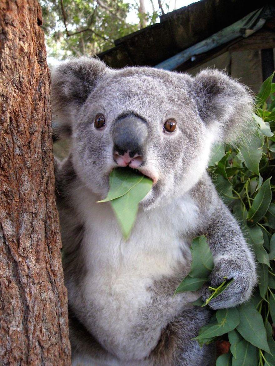 Удивленная коала