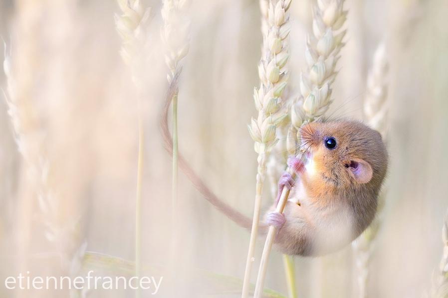 полевая мышка, фото 1