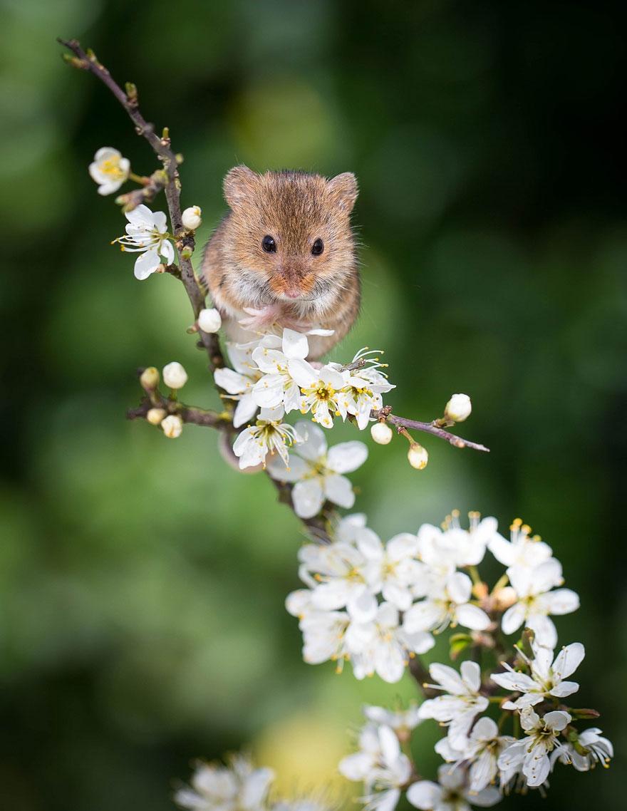 полевая мышка, фото 9