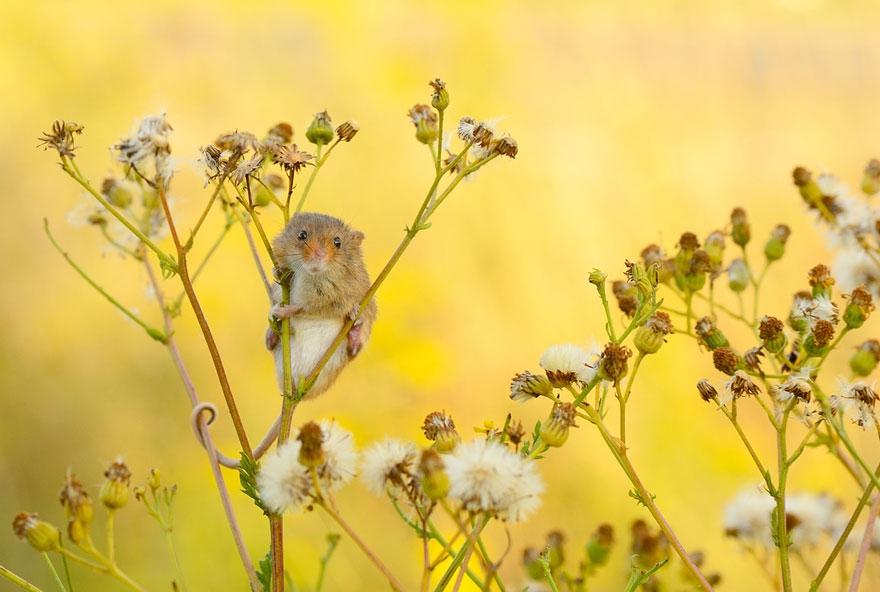 полевая мышка, фото 10