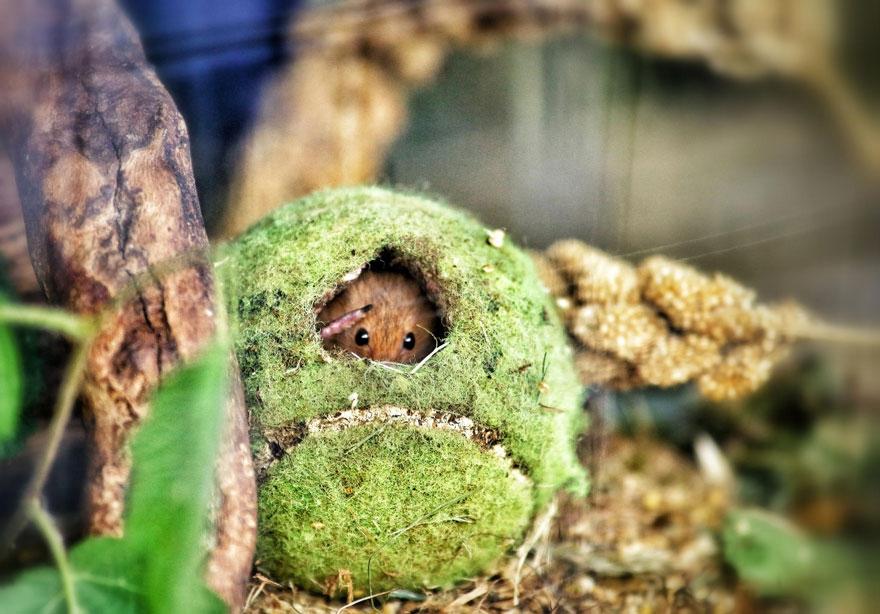 полевая мышка, фото 11