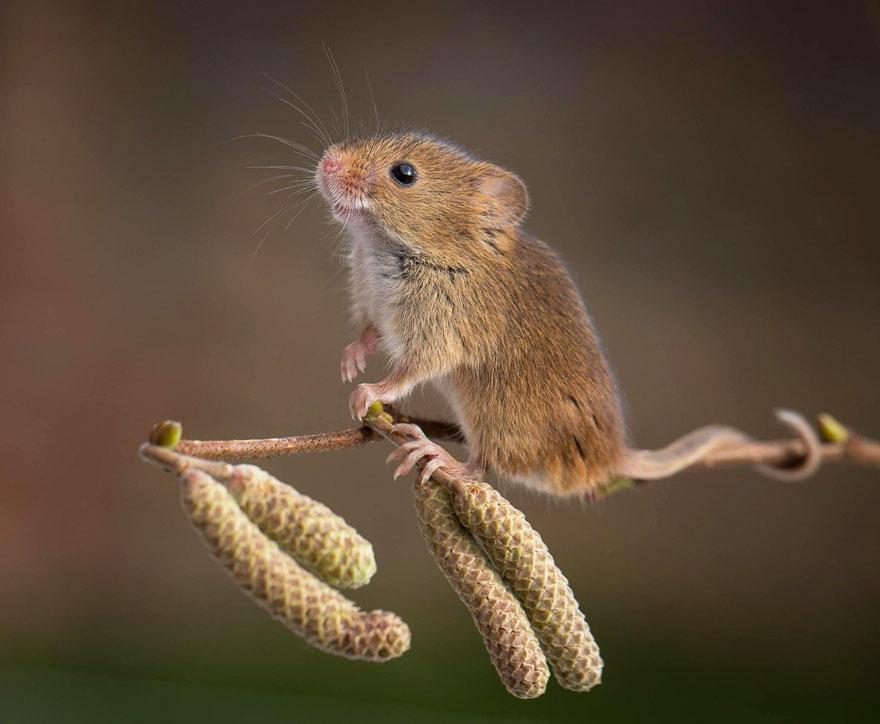 полевая мышка, фото 13