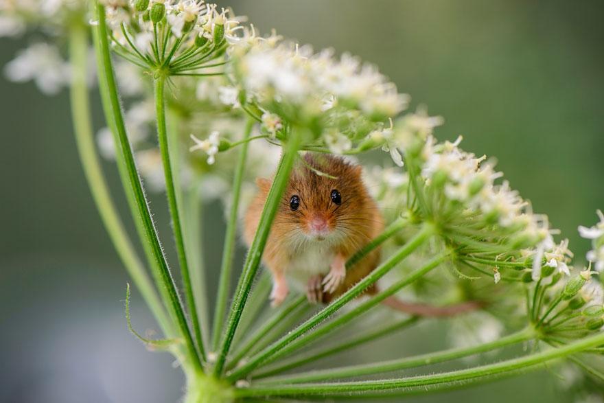 полевая мышка, фото 14