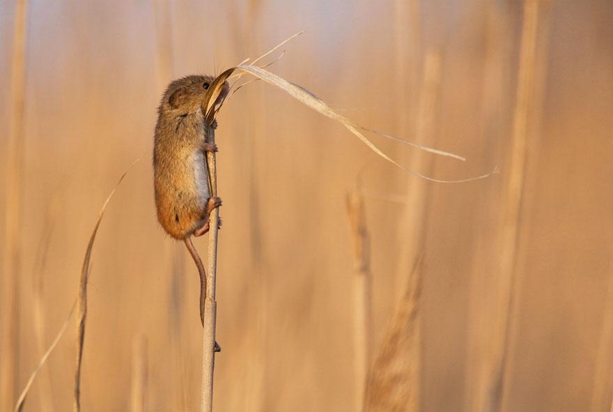 полевая мышка, фото 15