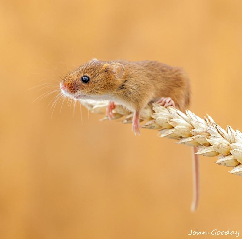 полевая мышка, фото 2