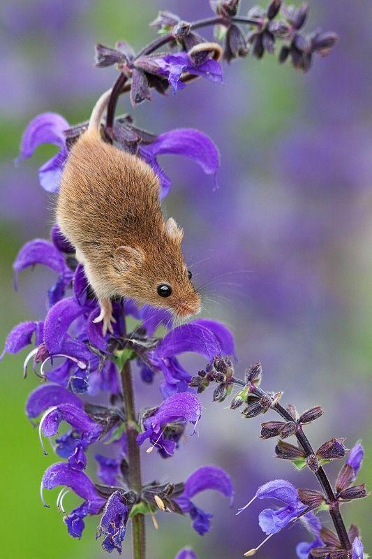 полевая мышка, фото 3