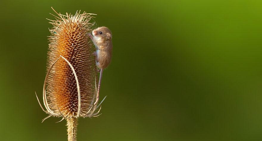 полевая мышка, фото 4