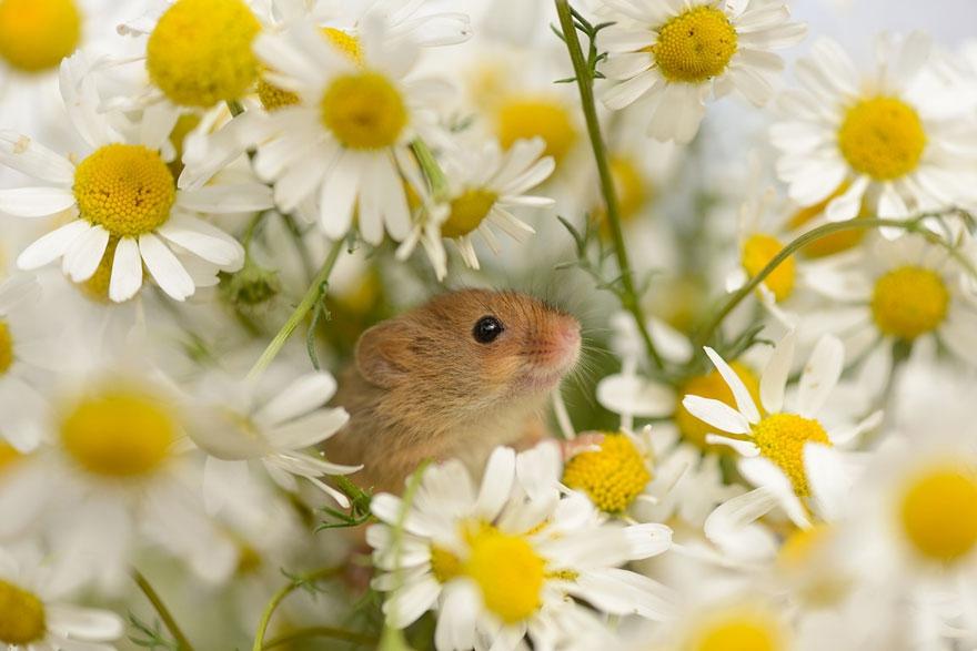 полевая мышка, фото 6