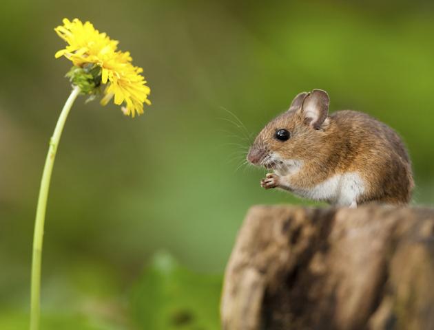 полевая мышка, фото 7