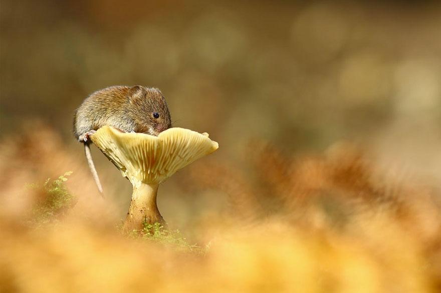 полевая мышка, фото 8