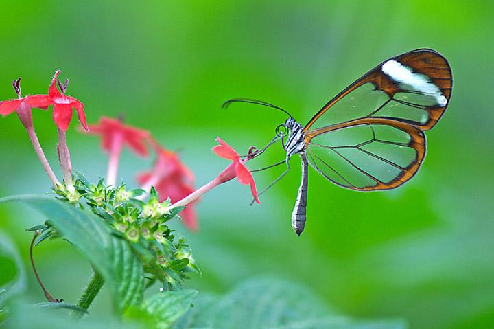 Бабочка Greta Oto