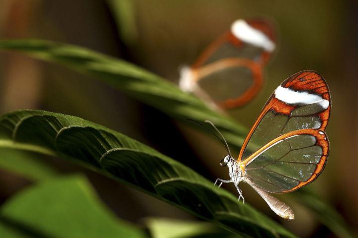 Бабочка Greta Oto фото 2