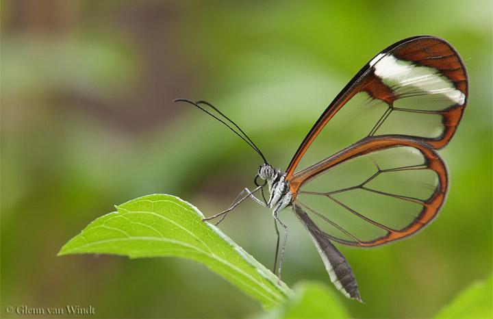 Бабочка с прозрачными крылышками фото 1