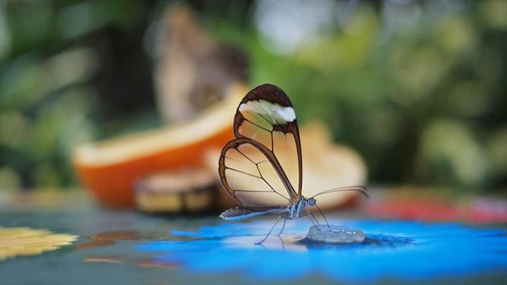 Бабочка с прозрачными крылышками фото 2