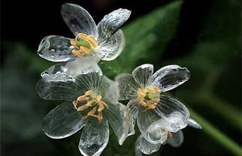 Цветок Грея