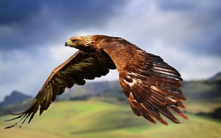 Размах крыльев горного орла - до трех метров!