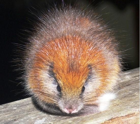 Красная хохлатая крыса
