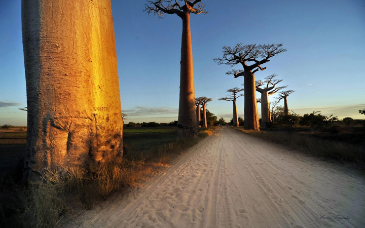 Баобабы в Африке фото 1