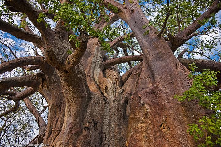 Баобабы в Африке фото 5