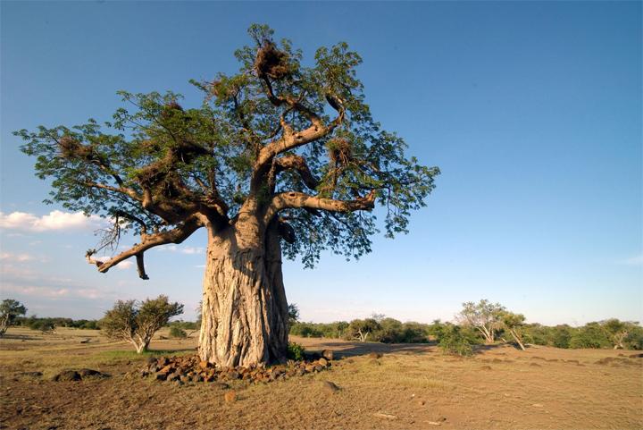 Баобабы в Африке фото 7