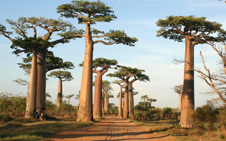 Баобабы в Африке фото 8