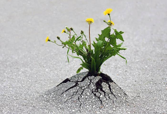 Растения сквозь асфальт