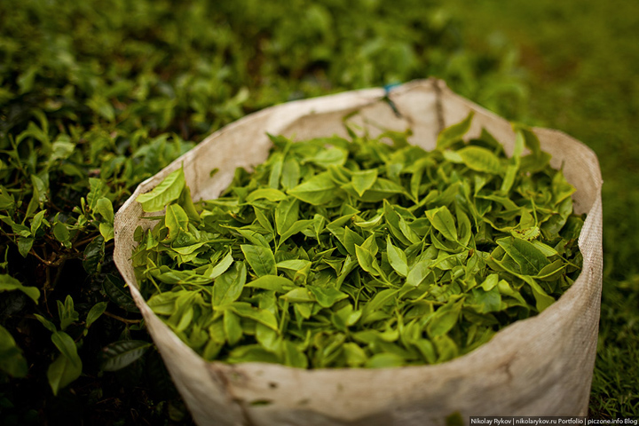 Сбор чайных листьев